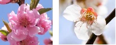 左:桜  右:梅