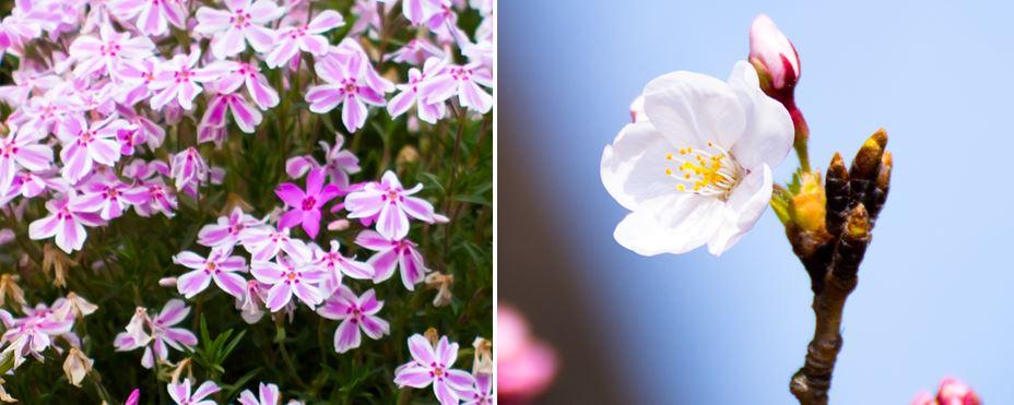 左:芝桜  右:桜