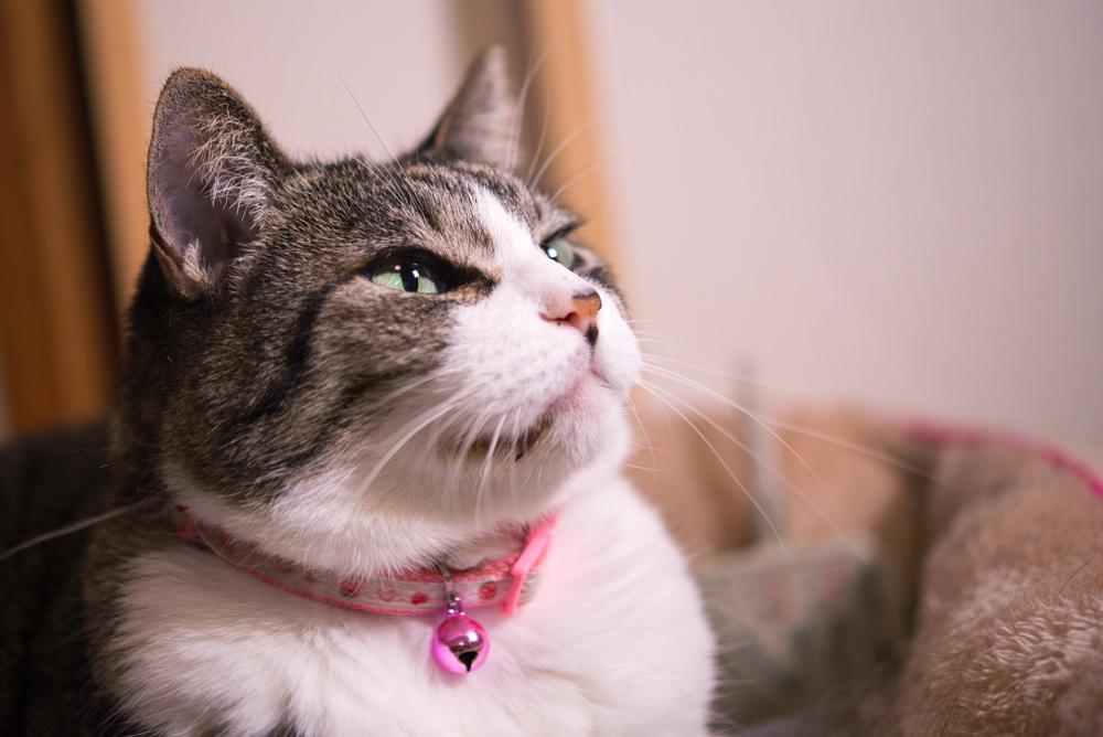 猫 写真 マクロ ストロボ 撮影