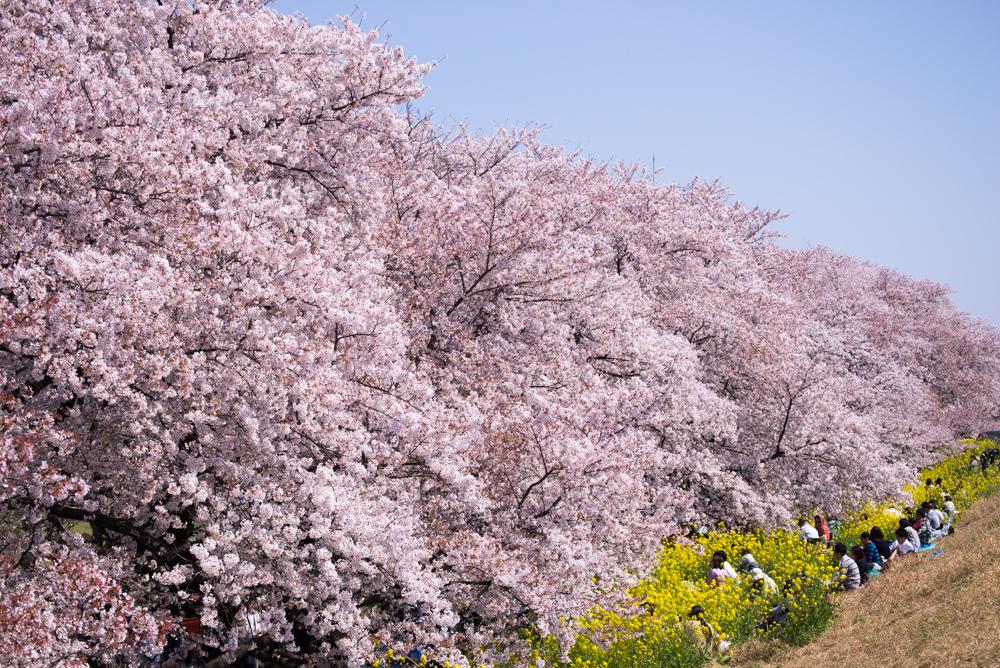 桜 撮影方法 構図
