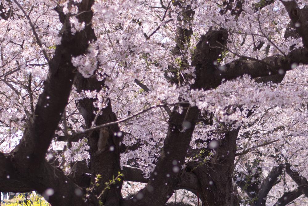 桜 撮影方法